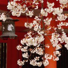 京都の桜と神社
