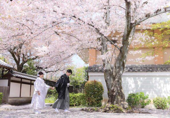 京都の満開の桜と白無垢で前撮り